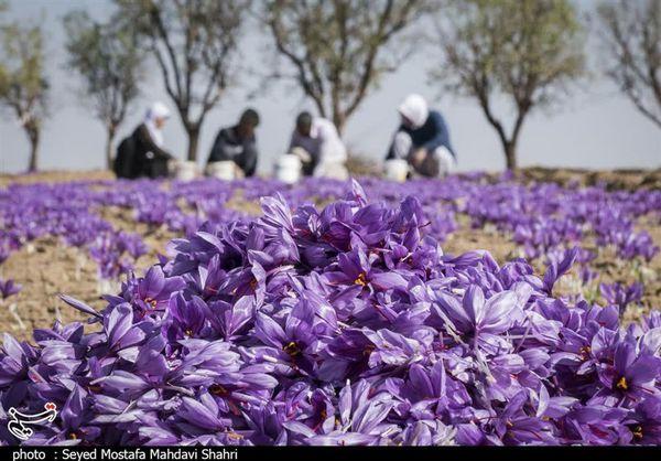 دولت زعفران را گرمی ۸۲۰۰ تومان از کشاورز میخرد
