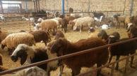 اصلاح نژاد ۱۵ هزار راس دام سبک در گلستان / افزایش دوقلوزایی در گلههای گوسفند استان