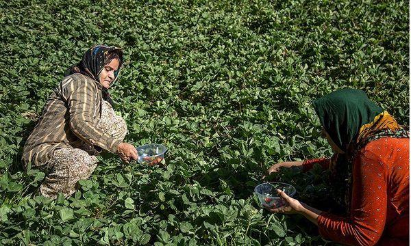 گلستان  تولید ۵۶ هزار تن انواع محصولات باغی در شهرستان رامیان