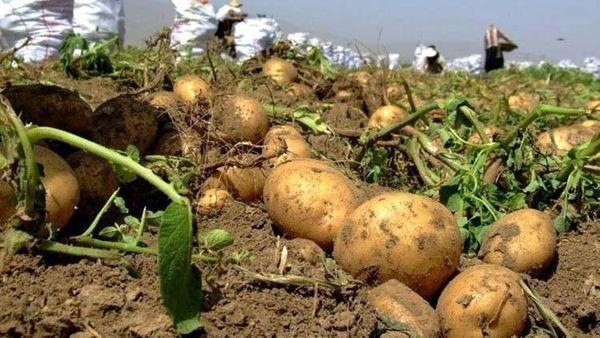 برداشت ۳۵ درصدی سیب زمینی در گلستان