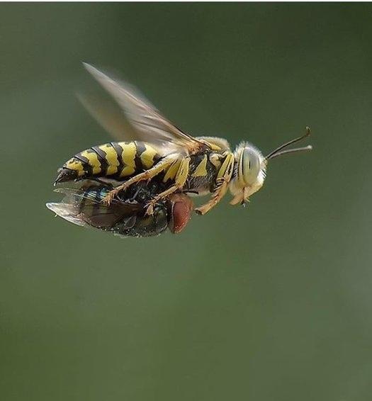 توزیع ۴۶۰ هزار زنبور براکون در اراضی آزادشهر