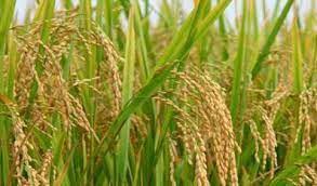 پرداخت بیش از ۱۴میلیارد تومان خسارت به کشاورزان گلستان