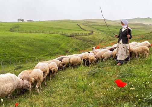 تولید بیش از ۳ هزار تن گوشت قرمز در گلستان
