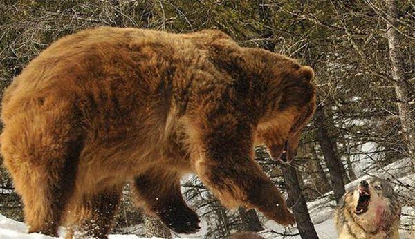 دانلود فیلم نبرد یک خرس با 4 گرگ