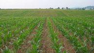 آشنایی با روش خشکه کاری برنج