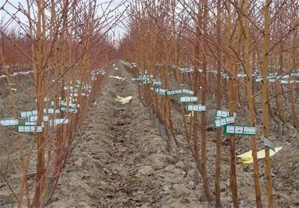 ۱۷۰ هزار نهال مرتعی در استان گلستان تولید و کاشته شد