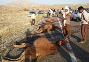 تصادف ۳ نفر شتر با پراید در گنبدکاووس/ شترها ذبح شدند