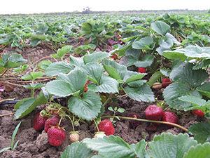 تولید بیش از ۸ هزار تن توت فرنگی در گلستان