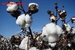 برداشت بیست و یک هزار تن پنبه از مزارع گلستان