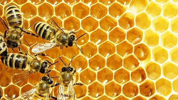 نیاز زنبورداران گلستانی به شکر