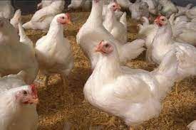 واردات تخم نطفه دار مرغ گوشتی از امروز به کشور آغاز شد/ پیش بینی کاهش قیمت