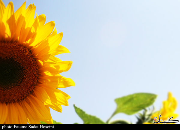 زیبایی آفتابگردان