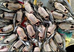 کشف و ضبط پرندگان کمیاب دریایی در غرب گلستان