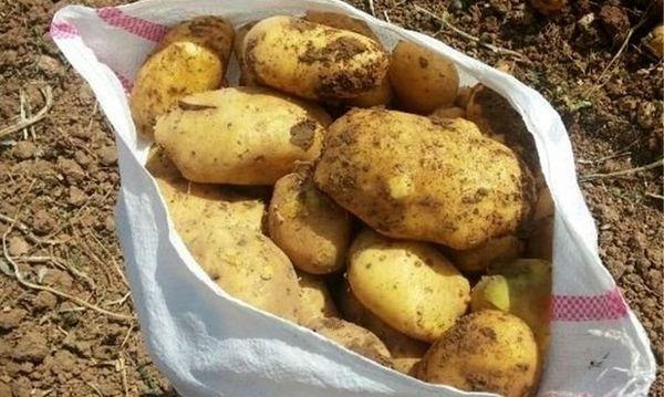 کشت قراردادی سیب زمینی برای نخستین بار در گرگان/ رفع دغدغه کشاورز برای فروش محصول از مزایای کشت قراردادی