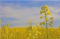 شیوع بیماری فوما در مزارع کلزا شهرستان آق قلا