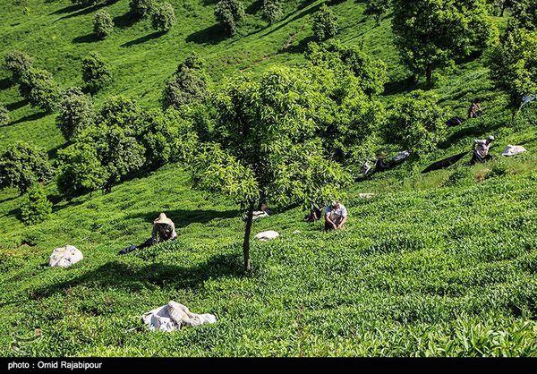 ۳۰۰۰۰ تن چای خشک در ۴ ماهه نخست امسال وارد کشور شد