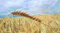 کشاورزان گندمهای ذخیره شده در انبارهای شخصی را در سامانه صمت ثبت کنند