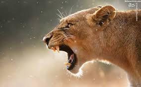 فیلم/ ناکامی گله شیرها با یک پرش فنی!