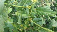 نتایجی جدید از علت بروز عارضهای قدیمی در مزارع سویای گلستان