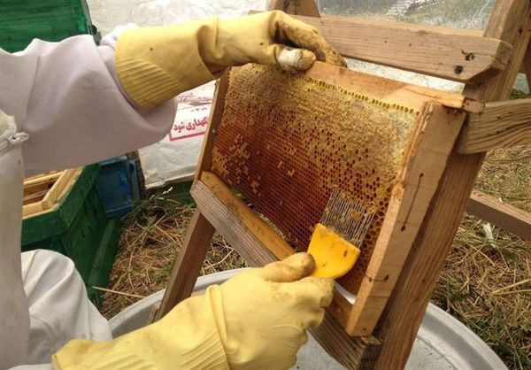 تولید بیش از ۵۰۰ تن عسل درگلستان