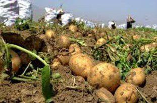 آغاز خرید تضمینی سیب زمینی در گرگان