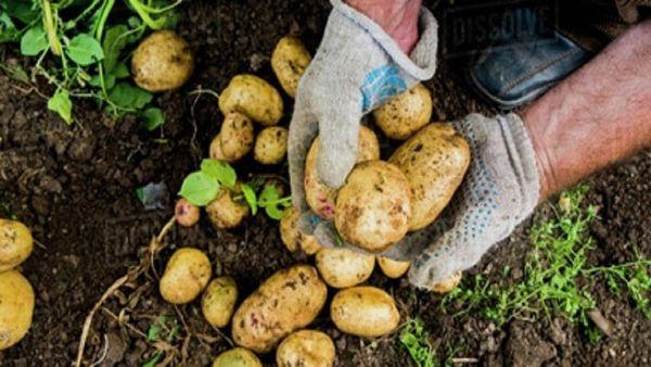 دردسرهای نبود الگوی کشت؛ هزینههای تولید سیب زمینی در گلستان ۳ برابر قیمت خرید تضمینی