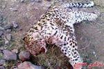 شکارچی پلنگ در گالیکش دستگیر شد