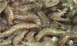 پرورش میگو ظرفیت اشتغال در استان گلستان است