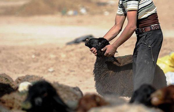 قتل به خاطر سرقت گوسفند!