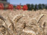 کمبود باران و کاهش میزان تولید گندم دیم در استان گلستان