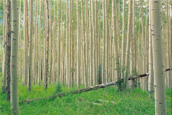 امکان اجرای طرح زراعت چوب در ۱۰۰ هزار هکتار از اراضی گلستان فراهم است