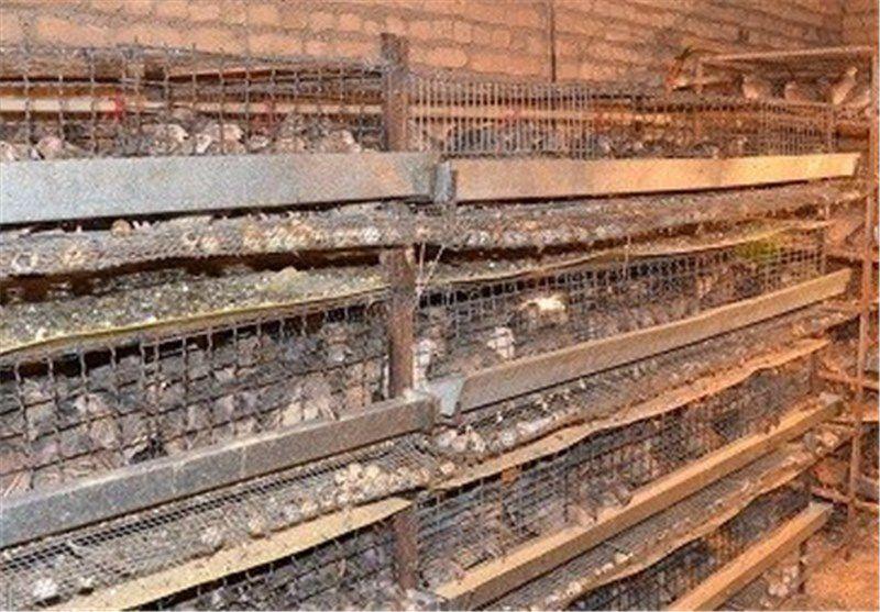 تولید بلدرچین در گالیکش