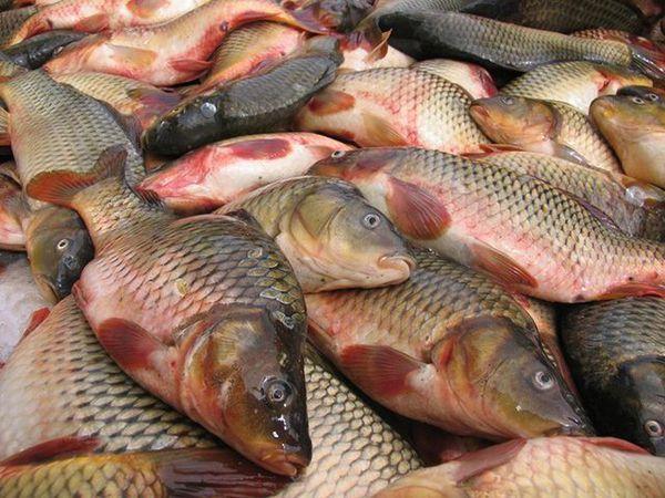 افزایش ۴ برابری صید کپور در آبهای گلستان
