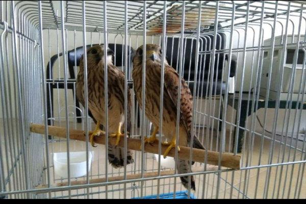 بیش از ۱۰۰ پرونده شکار غیرمجاز در مرزبانی گلستان تشکیل شد