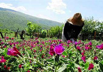 چه گیاهان دارویی در مناطق مختلف گلستان کشت شود؟