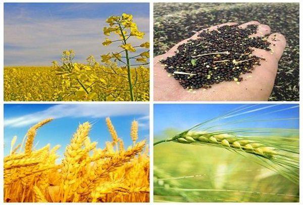 خرید بیش از 183 هزار تن گندم، جو و کلزا در استان