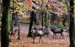جمعیت فعلی مرالهای قرمز پارک ملی گلستان بیش از ۶۰۰ راس است