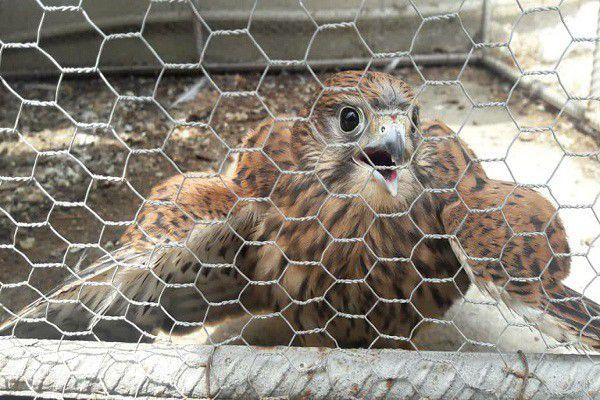 نجات پرنده شکاری زخمی توسط یک دوستدار محیط زیست