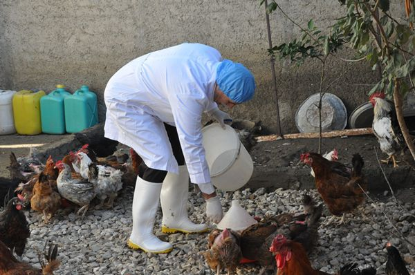 آغاز مرحله دوم طرح ملی واکسیناسیون طیور بومی گلستان