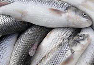 کشف ماهی قاچاق در آق قلا
