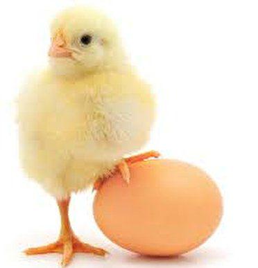 طی روزهای آینده قیمت ها در صنعت مرغ کاهش می یابد