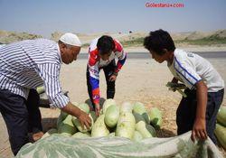 برداشت هندوانه و خربزه در استان گلستان
