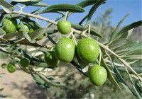 خسارت خشکسالی به باغات استان گلستان/ تولید زیتون ۳۰ درصد کمتر شد