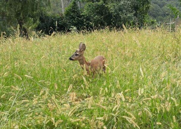 شکارچی گوزن مینیاتوری در رامیان به دام افتاد