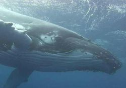 نهنگ یک صیاد را بلعید و ۳ روز بعد پس داد! +عکس