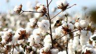 ۱۹۰۰۰ تن پنبه از مزارع گلستان برداشت شد/پیشبینی تولید ۴۵ هزار تن وش