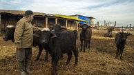 حمایت از سرمایهگذاری در صنعت پرورش گاومیش