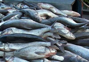 کشف بیش از ۲ تن ماهی بدون مجوز