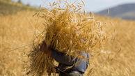 خرید تضمینی ۸۰۰ هزار تن گندم در گلستان