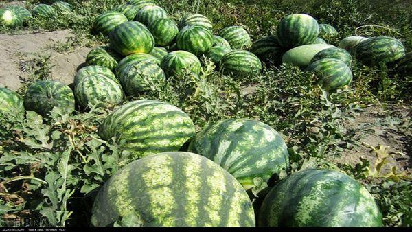 ۶۵ درصد محصول هندوانه گلستان برداشت شد